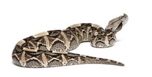 Gaboon蛇蝎- Bitis gabonica,毒,白色背景 免版税图库摄影