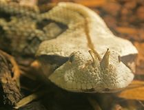 Gaboon Viper 1. Close-up of Horned Gaboon Viper Stock Photo