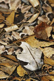 Gaboon Viper. West African Gaboon Viper (Bitis gaboonica) has the largest fanges of any snake in the world (upto 2 inches).  Native to central and south Africa Stock Photo