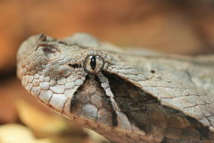 Gaboon viper. The detail of gaboon viper Royalty Free Stock Image