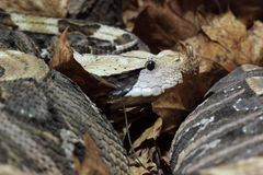 Gaboon viper Stock Photos