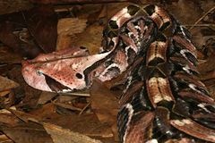 Gaboon Viper (Bitis Gabonica) Royalty Free Stock Photos