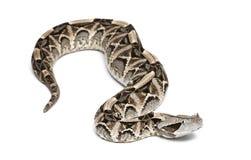 Gaboon Viper - Bitis gabonica, giftig Lizenzfreie Stockbilder
