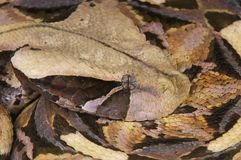 Gaboon viper / Bitis gabonica. One of the most impressive snakes in the world, the Gaboon viper is the biggest viper species in the world. This highly venomous Stock Photo