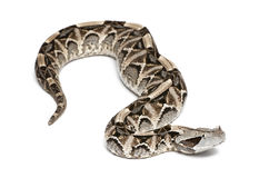 Gaboon viper - Bitis gabonica, poisonous. White background Royalty Free Stock Images