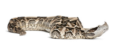 Gaboon viper - Bitis gabonica, poisonous. White background Stock Images