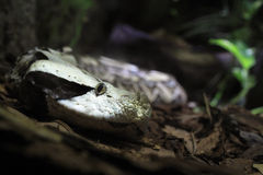 Gaboon viper Royalty Free Stock Images