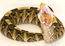 Gaboon viper eating Royalty Free Stock Images