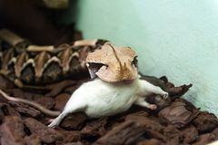 Gaboon Viper. A Gaboon Viper eating a rat stock photography