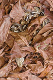 Gaboon viper snake. Lying in ambush Royalty Free Stock Images