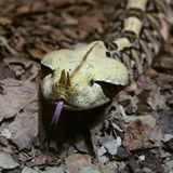 Gaboon Viper Snake Stock Photography