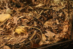 Gaboon Viper Snake. Well camouflaged Royalty Free Stock Image