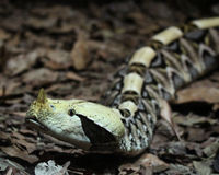 Gaboon Viper Royalty Free Stock Photo