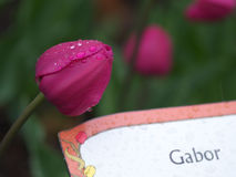 Gabor-Tulpe Lizenzfreie Stockfotos