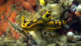 Gabriela`s tambja Tambja gabrielae nudibranch stock footage