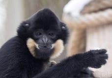 Gabriella`s portrait of female gibbon, Nomascus gabriellae Royalty Free Stock Image