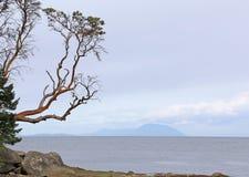 Gabriola Island Arbutus Stock Image