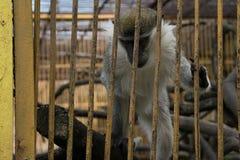 Gabun-Affe in einem Käfig Stockfotos