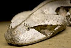 Gabun-Viper, Bitis Gabonica Lizenzfreie Stockbilder