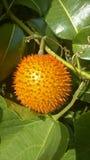 Gac果子(苦瓜属cochinchinensis)耕种在S中 库存照片