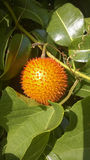 Gac果子(苦瓜属cochinchinensis)耕种在S中 免版税库存图片
