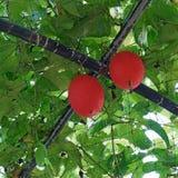 Gac или плодоовощ jack младенца на дереве Стоковые Фото
