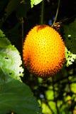 Gac or Baby Jack Fruit Royalty Free Stock Photography