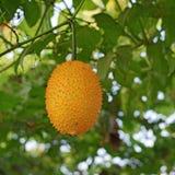 Gac or baby jack fruit on tree Stock Image