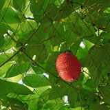 Gac or baby jack fruit on tree Stock Images