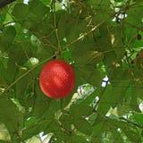 Gac or baby jack fruit on tree Royalty Free Stock Images