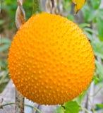 Gac fruit. Stock Photos