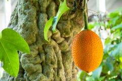 Gac fruit, Baby Jackfruit Stock Image