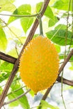 Gac fruit, Baby Jackfruit Stock Photos