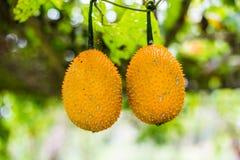 Gac fruit at field. Royalty Free Stock Image