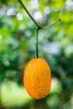Gac fruit at field Royalty Free Stock Image