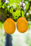 Gac fruit at field Royalty Free Stock Photos