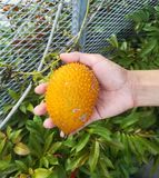 Gac fruit in human hand Stock Photo