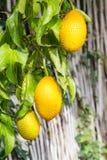 Gac fruit hung on the vine Royalty Free Stock Photos