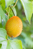 Gac fruit hung on the vine Royalty Free Stock Photography