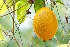 Gac fruit Royalty Free Stock Photo