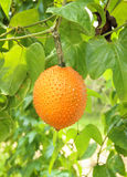 Gac fruit (Momordica cochinchinensis) Royalty Free Stock Photo
