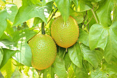 Gac fruit (Momordica cochinchinensis) Stock Images