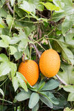 Gac fruit Royalty Free Stock Images