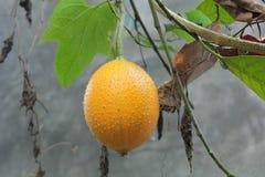Gac fruit is ripe on the tree. Gac is high in anti-oxidants Stock Image