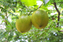 Gac fruit is ripe on the tree. Gac is high in anti-oxidants Royalty Free Stock Images