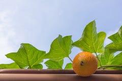 Gac frukt är healty för liv med bakgrund för blå himmel Arkivfoto