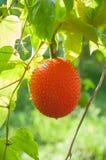 Gac frukt, behandla som ett barn jackfruiten Royaltyfri Bild
