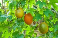 Gac frukt, behandla som ett barn jackfruiten Royaltyfri Foto