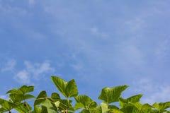 Gac fruktblad Arkivbild