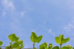 Gac fruktblad med bakgrund för blå himmel Arkivfoto